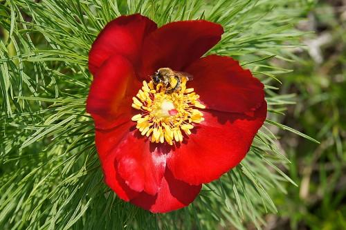 Пион тонколистный (Paeonia tenuifolia)
