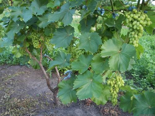 Подкормите виноград