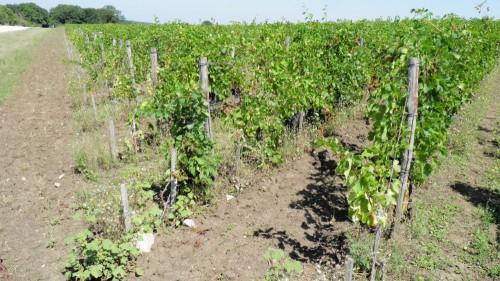 Виноградник в июле
