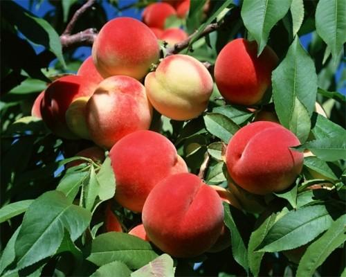 Как персику выжить, или южанину придется помогать