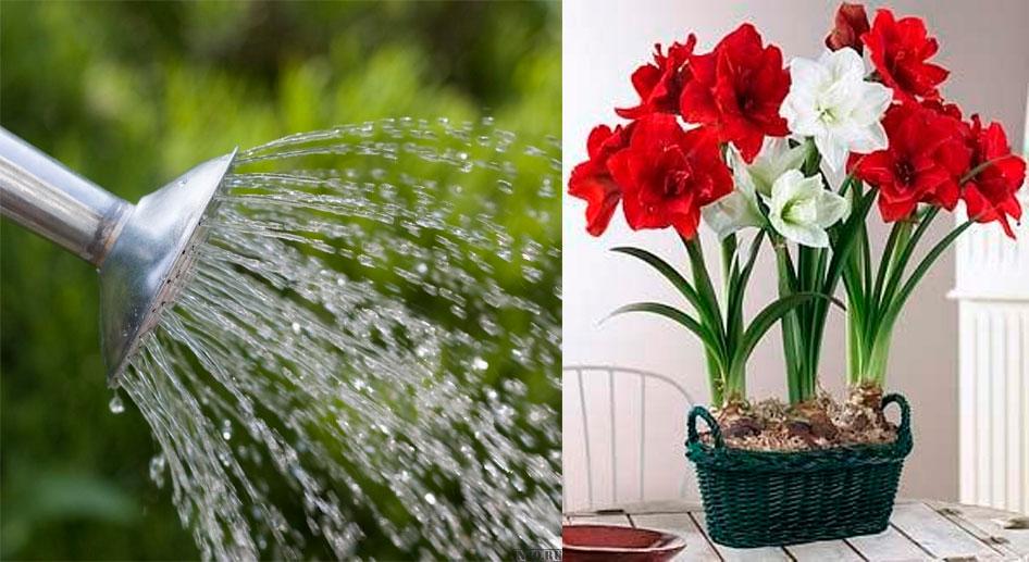 Как поливать гиппеаструм
