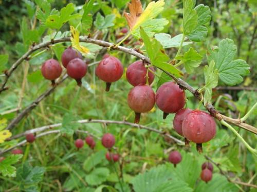 Разведение и содержание ягодных кустов – Крыжовник