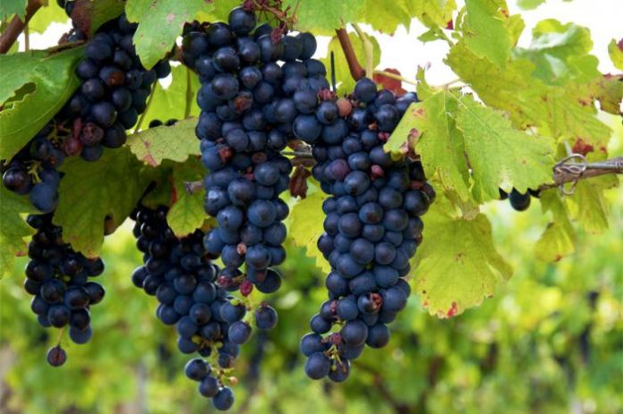 Виноград в Белоруссии