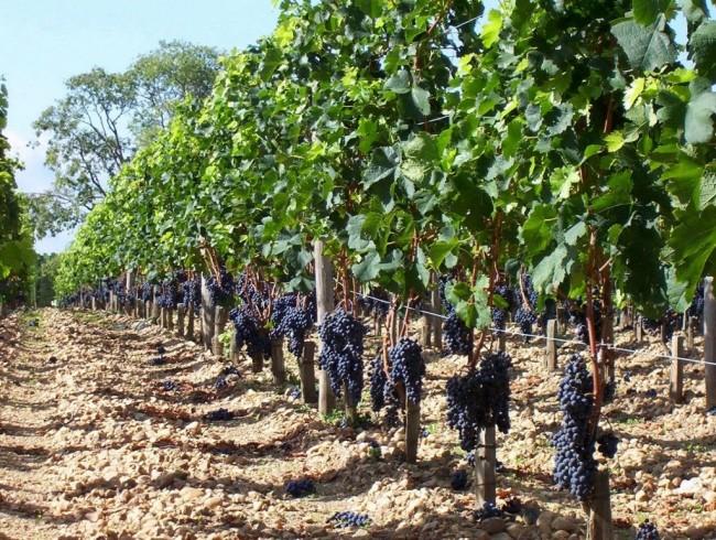 Июньские заботы в винограднике