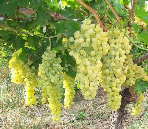 Регулируем плодоношение винограда