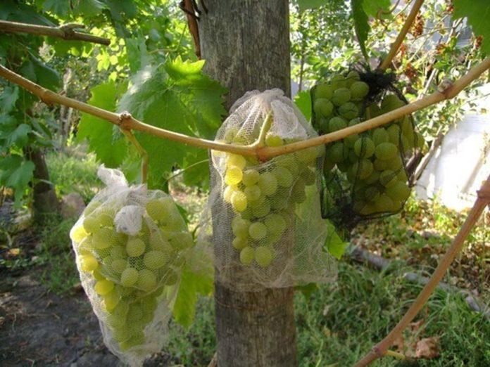 Спасем виноград