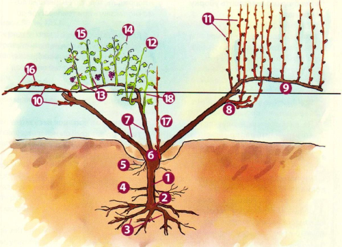 Строение куста винограда