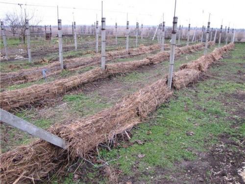 Укрытие виноградных кустов на зиму