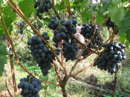 Амурский виноград – уникальный лекарь