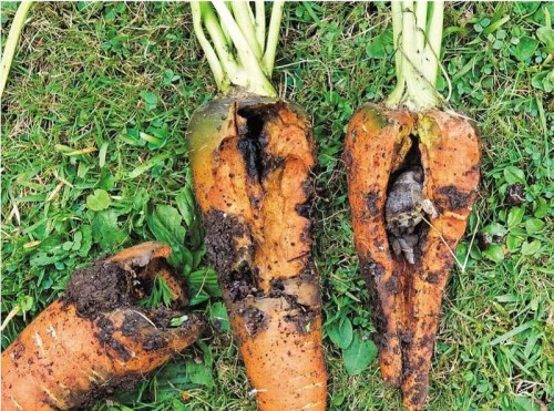 Болезни и вредители моркови