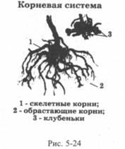 Строение и размножение облепихи