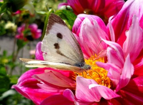 Клумба для бабочек