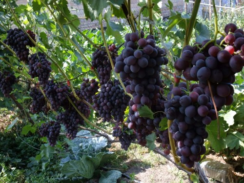 Когда созревает виноград?