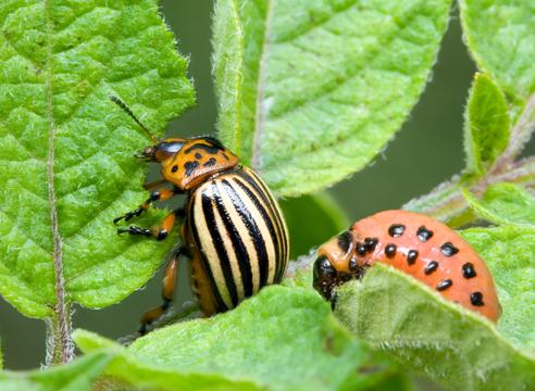 Колорадский жук и борьба с ним