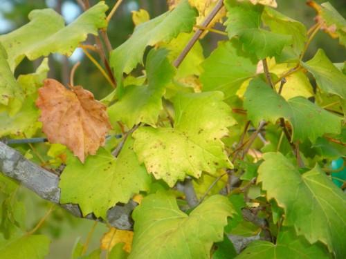 Определение недостатка питательных веществ винограда