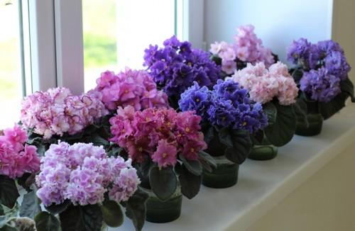 Калла эфиопская, отдохнув летом и осенью, принимается расти. Поливайте ее так, чтобы всегда в поддоне было небольшое количество воды. Подкормку совершайте минеральными или органическими удобрениями. Не переставляйте азалию, камелию, шлюмбергеру после того, как у них появятся бутоны. При изменении освещения бутоны и цветки у них опадают. Поливайте и опрыскивайте их водой комнатной температуры. Взрослые экземпляры хорошо поливать подкисленной водой, содержащей микроэлементы. Чтобы предотвратить истощение растений, часть бутонов следует удалить. Держите зацветающие азалии и камелии в светлом месте, расположив около увлажнителей воздуха. Эти культуры требуют высокой влажности воздуха и почвы. Если в помещении сухо, они сбрасывают листья. В декабре цветущие сенполии, примулы, жасмин, кампанулы продолжают поливать теплой водой регулярно, но умеренно. 1-2 раза их подкармливают раствором минерального удобрения в слабой концентрации. Чтобы продлить цветение, обеспечьте досвечивание по 10-12 ч. в сутки люминисцентными лампами. У зацветающих орхидей кипяченой водой увлажняйте субстрат, опрыскивайте растение, но делайте это осторожно, чтобы на лепестки не попадала вода, в противном случае на них образуется пятно черного цвета.