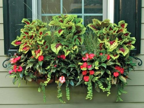 При поливе растений обязательно нужно учитывать местоположение контейнеров и ориентацию балкона относительно сторон света, состояние растений, погодные условия, качество субстрата и материала, из которого изготовлена цветочная посуда. Следить нужно за тем, чтобы субстрат в контейнерах был всегда влажным, но не сырым. В жаркие летние дни балконные растения в узких цветочных ящиках нередко подвергаются опасности пересушки. Поэтому в жаркие дни полив может быть многократным, не менее двух раз в день. Полив лучше проводить рано утром или вечером, но не в жару. При поливе лучше всего использовать 10-литровые ведра с водой температурой 15-18°. Равномерно разливать ее ковшом по поверхности субстрата в контейнере. При этом мочить листья растений желательно как можно меньше. Для оптимального роста растений по истечении определенного времени, когда они укоренятся, следует проводить их подкормку удобрениями. Подкормка растений органическими или минеральными удобрениями снабжает растения всеми необходимыми питательными веществами на период от 4 до 5 недель. После этого срока в поливочную воду раз в неделю добавляют раствор удобрений. Лучше всего использовать комплексные удобрения, как в жидкой, так и в твердой форме. Цветочные удобрения растворяют в поливочной воде в концентрации 0,2% (2 г на 1 л воды) твердого удобрения или 2 мл на 1 л воды жидкого удобрения и поливают этим раствором балконные растения 1 раз в неделю. Подкормку растений, которым предстоит перезимовка (пеларгония, фуксия), необходимо проводить максимум до начала сентября, чтобы их побеги успели вызреть до наступления зимы. Если этого не сделать, растения продолжают рост при низкой температуре, низкой освещенности, подвергаются грибковым заболеваниям. При внесении удобрений следите за тем, чтобы не мочить листья и стебли растений — это предотвратит появление ожогов. Перед проведением подкормок необходимо хорошо увлажнить земляной ком в контейнере. Если на листья попал раствор удобрений, их следует обмыть чистой 