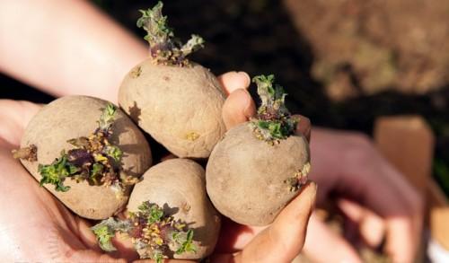подготовка клубней картофеля