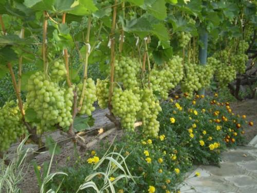 Уплотнение виноградника
