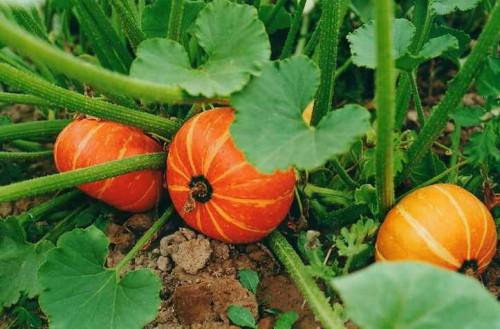Уроки по выращиванию тыквы