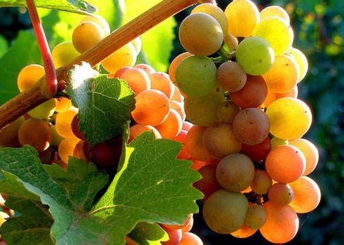 Виноград: разновидности и сорта