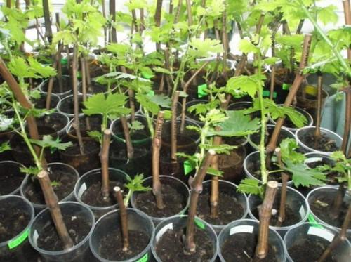 Выращиваю свженцы винограда свмостоятельно