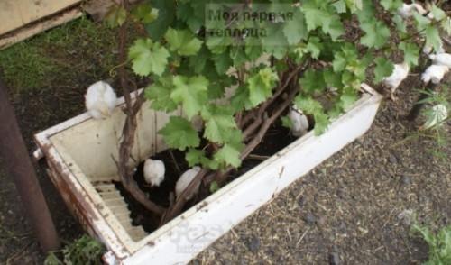 Защитная конструкция для привитых саженцев винограда