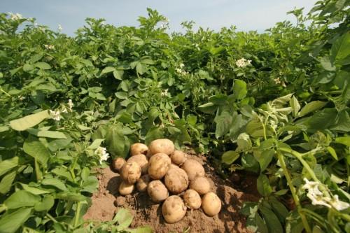 Август – время сажать картофель