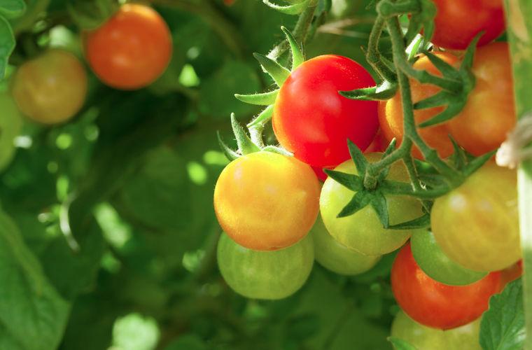 Выращивание высокорослых помидоров в теплицах