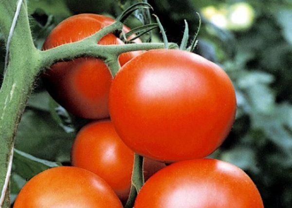 Болезнестойкие сорта томатов сезона-2014