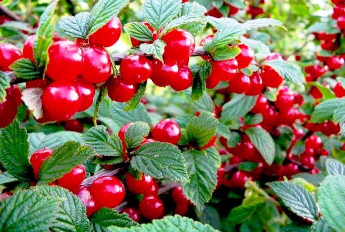 Войлочная вишня удивительно плодовита