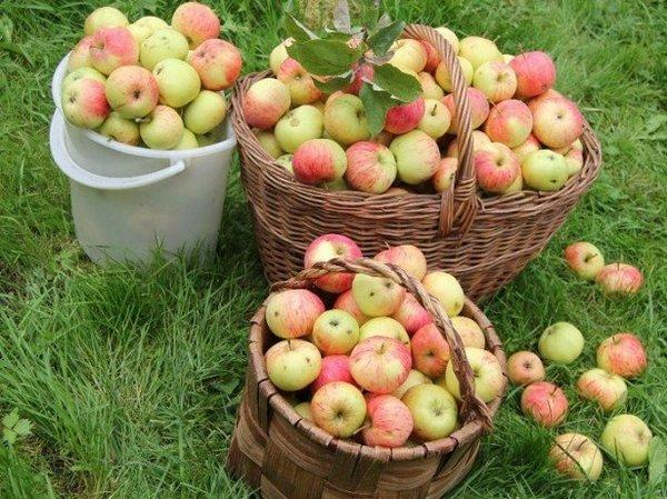 Выбираем сорт яблок