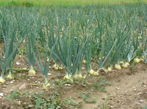Выращивание лука за один год