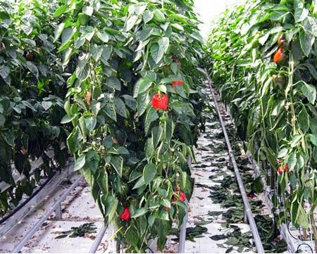 Выращивание перца в защищенном грунте