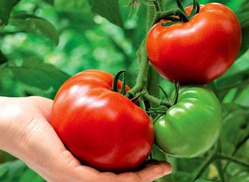 Выращивание помидоров по методу И.М. Маслова