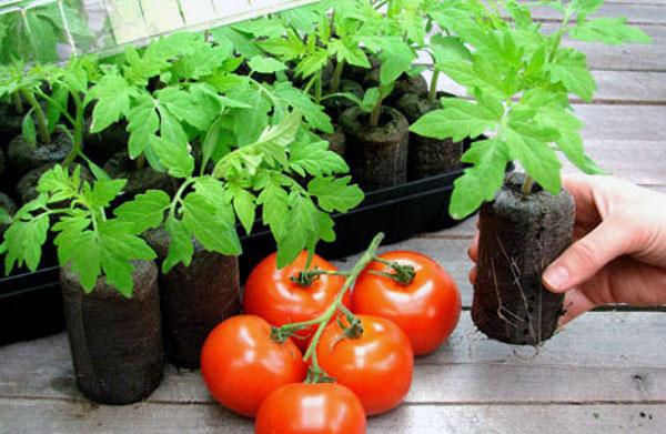 Выращивание рассады помидоров окоренением черенков