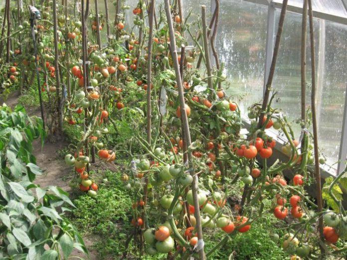 Выращивание томатов в пленочных теплицах