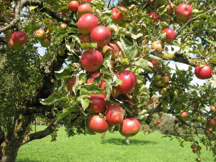 Выращивания яблок в саду