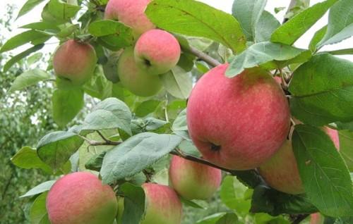 Ежегодно плодоносят яблони