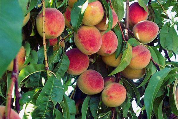Защищаем персик от морозов