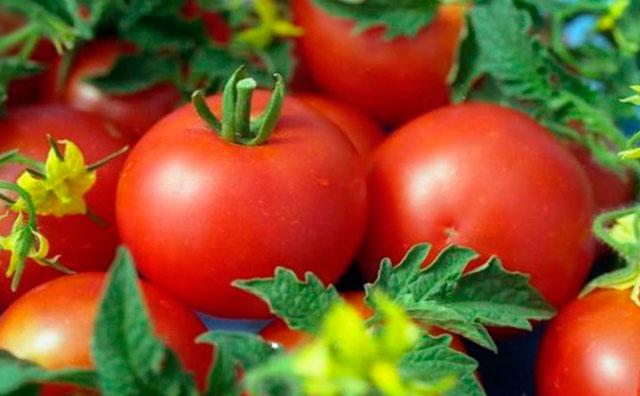 Как получить ранние помидоры
