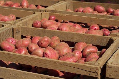Как сохранить клубни картофеля