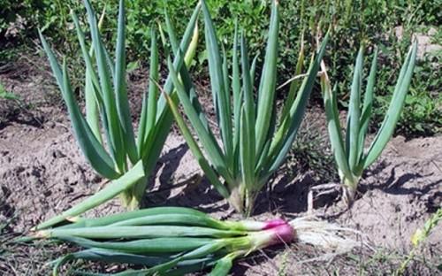 Как я выращиваю чеснок и лук-батун