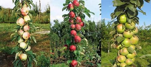 Карликовая колонновидная яблоня