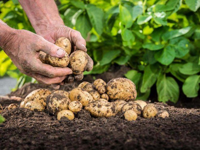 Картофель – индивидуальный подход