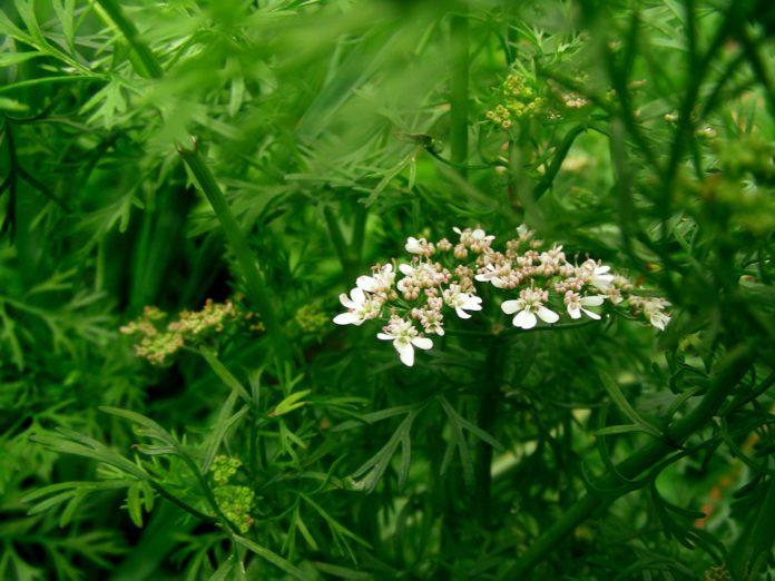 Кориандр посевной, или кинза