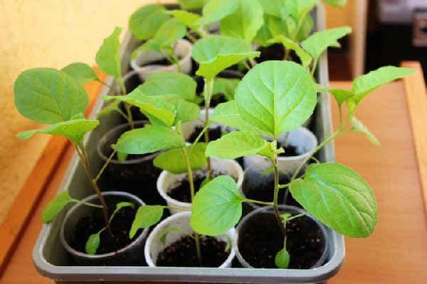 Не удается вырастить хорошую рассаду баклажан