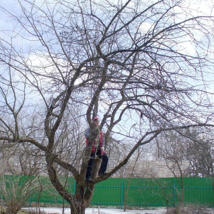 Обрезка вишни и сливы – Ответы профессора Р.П.Кудрявца