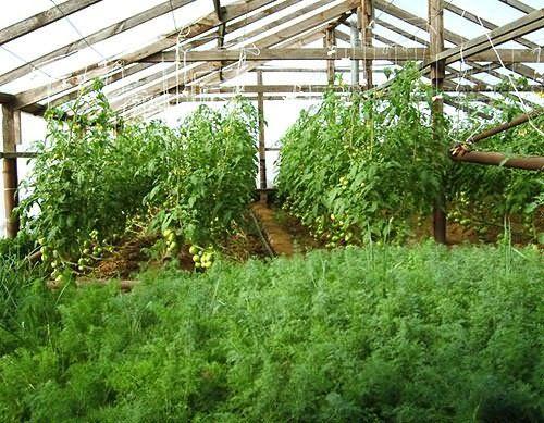 Особенности выращивания и ухода за морковью в теплице