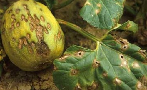 О болезнях тыквы